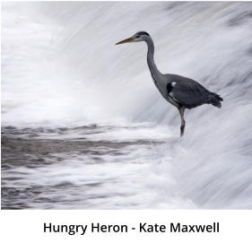Hungry Heron - Kate Maxwell