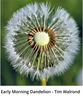 Early Morning Dandelion - Tim Walrond